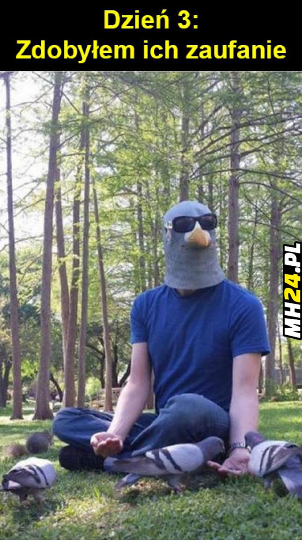 Zaufanie u gołębi