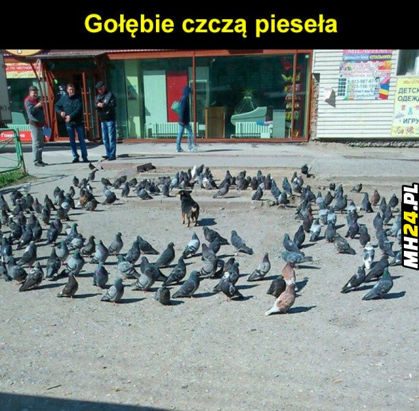 Gołębie czczą piesieła Obrazki