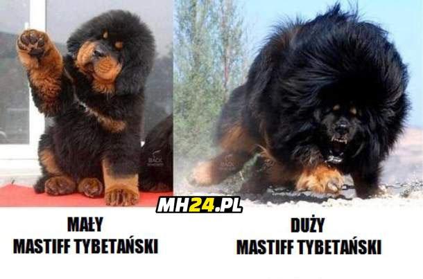 Mastiff tybetański