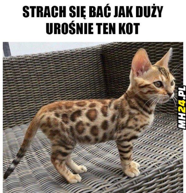 Strach się bać jak duży urośnie ten kot Obrazki
