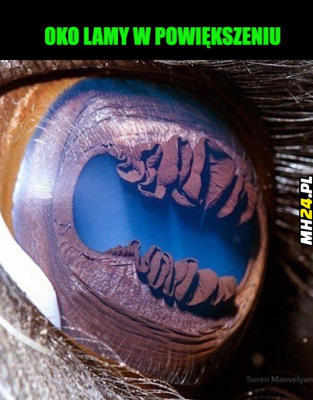 Oko lamy